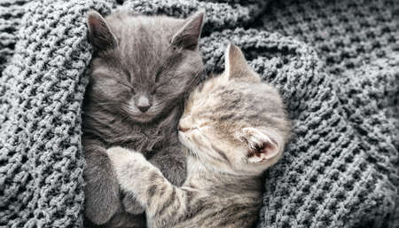 Couple cute kittens in love sleeping kissing on gray soft knitted blanket. Cats rest napping on bed. Feline love and friendship on valentine day. Comfortable pets sleep at cozy home. Top view banner Banco de Imagens