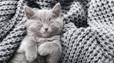 Gray british kitten lies on gray soft knitted blanket. Cat portrait with paws rest napping on bed. Comfortable pet sleeping in cozy home. Top view. Long web banner