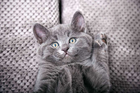Gray british kitten lies on gray soft sofa . Cat portrait with paws rest napping on bed. Comfortable pet sleeping in cozy home. Top view with copy space Banco de Imagens