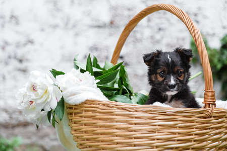 Happy black puppy portrait sits in basket on white wall background. Happy dog pooch, not purebred outside in summer. Copy space Banco de Imagens
