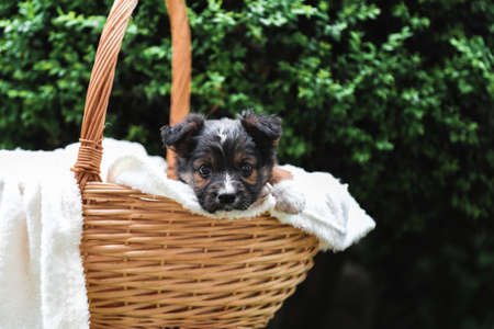 Happy black puppy sits in basket on background of green nature. Happy dog pooch, not purebred on white blanket outside in summer.