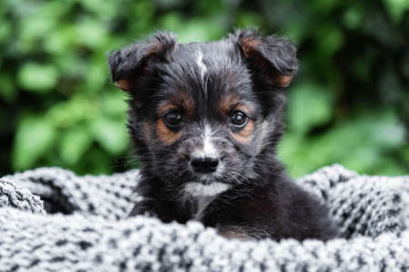 Black puppy dog portrait. Dog sits in basket on background of green nature. Animal gift for valentine day. Happy dog sits on gray blanket outside in summer.