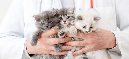 Cats in Vet doctor hands. Doctor veterinarian examining 3 three kittens. Baby cat in Veterinary clinic. Vet medicine for pets and cats. Kittens animal portrait. Long web banner Banco de Imagens