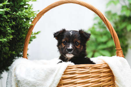 Black puppy sits in basket on background of green nature. Happy dog pooch, not purebred on white blanket outside in summer. Banco de Imagens