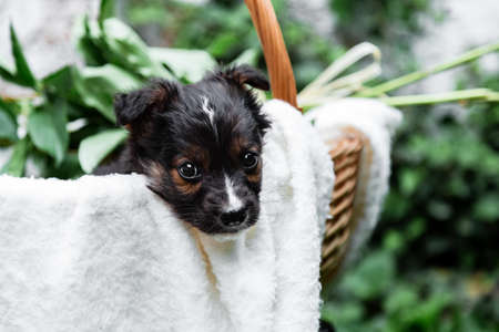Happy black puppy portrait sits in basket on white wall background. Happy dog pooch with bouquet of flowers outside in summer. Copy space Banco de Imagens