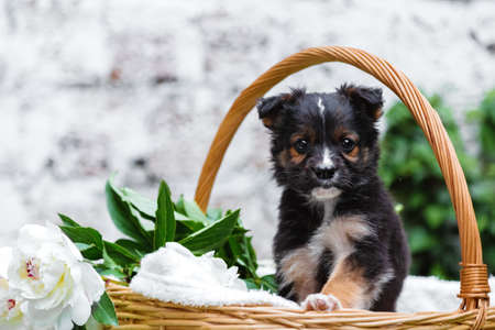 Puppy dog portrait in basket with flowers bouquet outdoor. Adorable young domestic animal brown puppy sitting with paw on basket border as gift surprise on White brick wall background.
