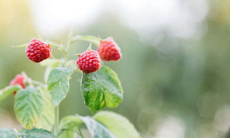 Ripe raspberries on bush are ripe. Ripe and unripe red raspberries in process of growing and ripening and picking. Organic Juicy Raspberry Branch. Long web banner with copy space Banco de Imagens