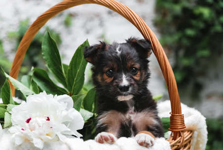 Puppy dog portrait in basket with flowers bouquet outdoor. Adorable serious young domestic animal brown puppy sitting with paws on basket border as a gift or surprise on green nature background