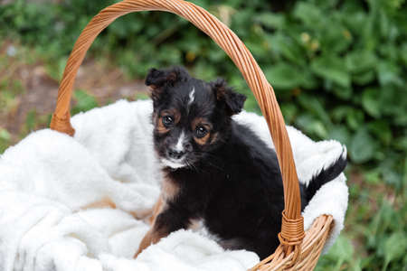 Newborn Puppy black dog portrait outdoor. Adorable young domestic animal brown puppy sitting missing waiting in basket.Dog as gift or surprise on white plaid Banco de Imagens