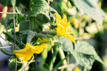Small cucumbers in the garden. Blooming with yellow flowers, cucumber plant are tied in the garden farm. Green fresh juicy cucumbers