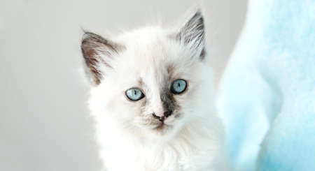 Cute White kitten with blue eyes portrait. Cat kid animal with interested, question facial face expression. Small white kitten on white background. Long web banner Banco de Imagens