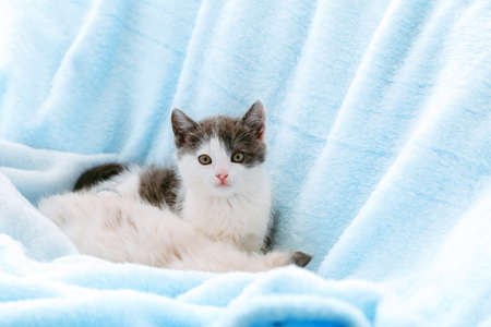 Portrait of beautiful spotted white kitten relax on soft blue color plaid background. Home pet lying. Happy domestic animal mammal cat