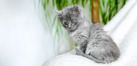 Kitten sitting in home interior. Portrait of beautiful gray fluffy kitten relax on soft white plaid near home plant in pot. Home pet lying. Happy domestic mammal animal cat. Long web banner