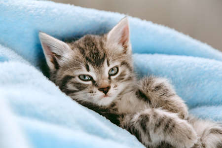 Tabby gray kitten lying resting on his back. Cat kid mammal animal pet with interested facial face look on camera. Small grey kitten at home on color blue plaid background Banco de Imagens