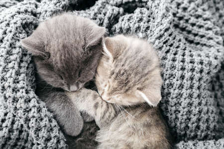 Couple cute tabby kittens sleeping kissing on gray soft knitted blanket. Cats rest napping on bed. Feline love and friendship on valentine day. Comfortable pets sleep at cozy home. Top view