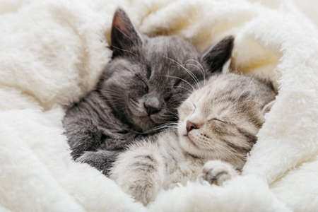 2 sleepy kittens with paws sleep comfortably in white blanket. Family couple cats resting together. Two gray and tabby beautiful domestic kitten in love hugging.