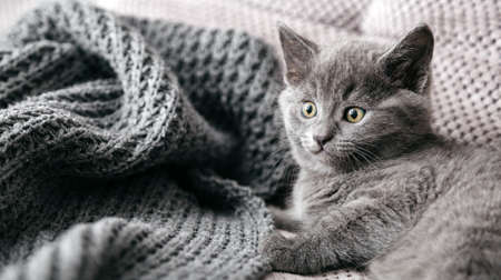 Gray British purebred cat lies on couch. Portrait of beautiful fluffy kitten of gray coat color in cozy home alone. Scared animal mammal pet. Long web banner Banco de Imagens