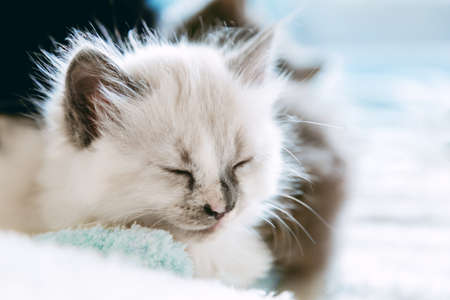 Cute White kitten closed his eyes and doze nap relax. Cat kid animal. Small white mammal animal pet kitten on white background. Fluffy Cat with mustache