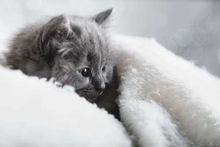 Flaffy gray kitten lying resting. Cat kid mammal animal pet with interested facial face look side on copy space. Small grey kitten at home onwhite plaid background. Banco de Imagens