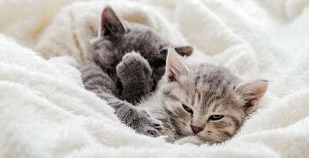 Unsatisfied Funny kittens with playful muzzles. Disgruntled kitten covers face with paw. Kitten rolls eyes in displeasure. Family dramatic quarrel of domestic grumpy kitten cats. Long web banner Banco de Imagens
