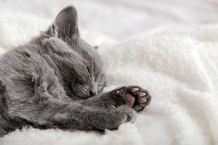 Cute grey kitten sleeping on white soft blanket. Cat portrait with paw rest napping on bed. Comfortable pet sleeping in cozy home. Banco de Imagens
