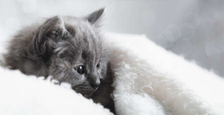 Flaffy gray kitten lying resting. Cat kid mammal animal pet with interested facial face look side on copy space. Small gray kitten at home onwhite plaid background. Long web banner.