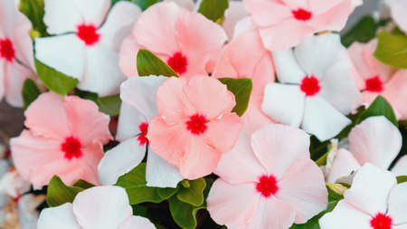 Catharanthus flowers. Summer pink white flowers in drops of morning dew. Close up street lawn flower bed of tropical flowers, natural background. Long web banner Standard-Bild
