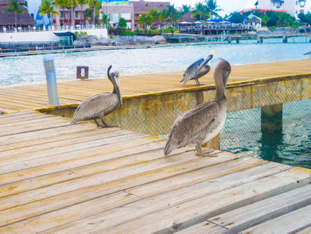 Pelicans at bay