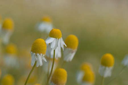 herbolaria: camomile field