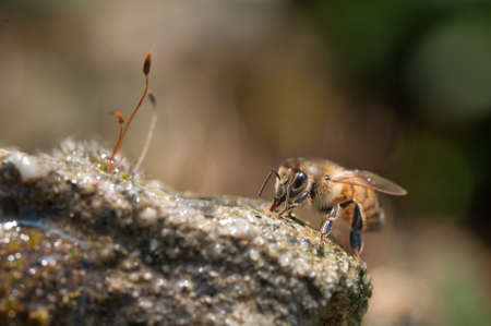 mellifera: honey bees drinks fresh water