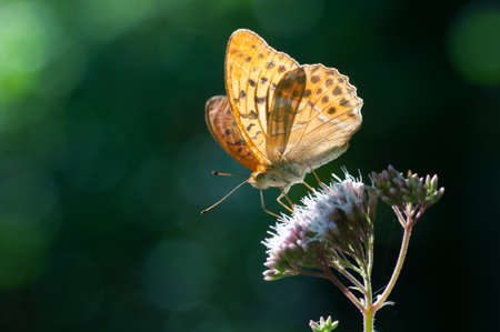 buttefly collects nectar on flowers