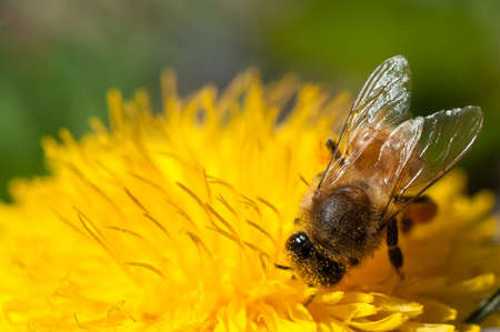 bee collects pollen on dandelion flower
