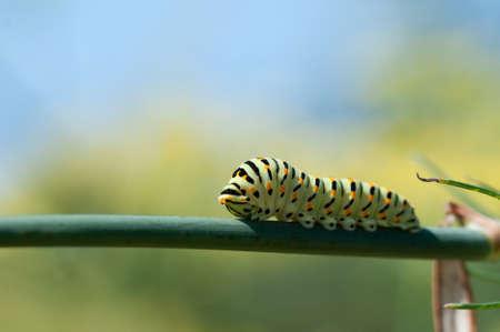 swallowtail Caterpillar on fennel flower Stock Photo