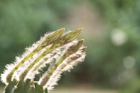 echinopsis subdenudata buds on natural background