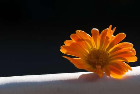 pot marigold: calendula flower close up on white and black background