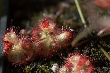close uop of drosera rotundifolia carnivorous plant on natural background