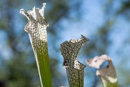 close up of Saracenia carnivorous plant on natural background