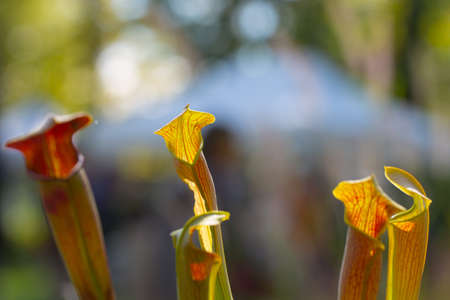 close up of Saracenia rubra carnivorous plant on natural background