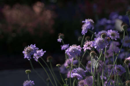 Scabiosa columbaria  butterfly blue , purple bloom on dark background