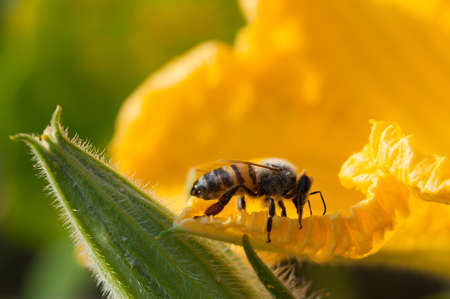 Bee verzamelt stuifmeel in een pompoenbloem Stockfoto