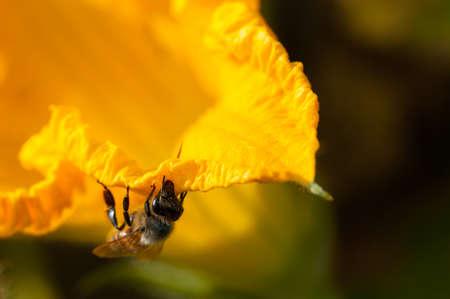 A abelha coleta pólen em uma flor de abóbora