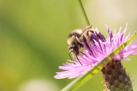 Closeup of a bee collecting nectar on a Centaurea galicica
