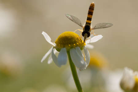 Hover fly mimic wasp collecting nectar from a yellow flower Stock Photo
