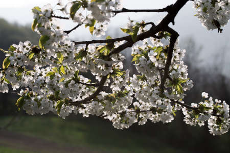 spingtime, beautiful blossom of cherry on natural background Stock Photo