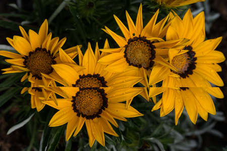 bright yellow flowers of Gazania splendens genus asteraceae with composite flower petals Stock Photo