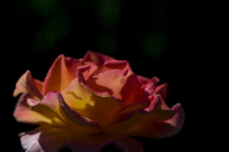 yellow and red rose-bud on blak background