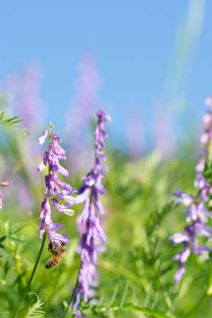 Honey bee pollinate on vicia flower on blue sky background