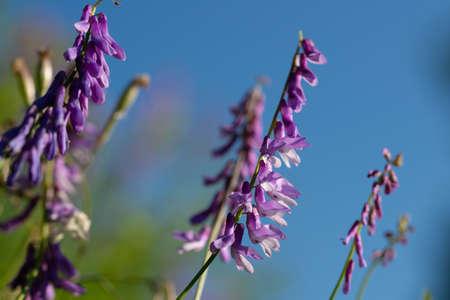 Wild vetch flowers on blue sky backgounds Stock Photo