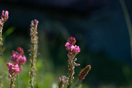 Esparcet pink flowers ,Onobrychis viciifolia on natural background