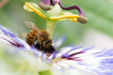 Close-up of honey bees the flower of Passiflora edulis or Passion Flower on a natural background.